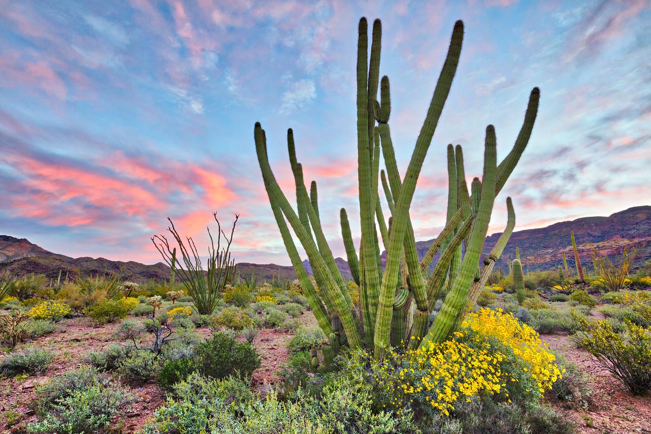 6862 Organ Pipe Cactus