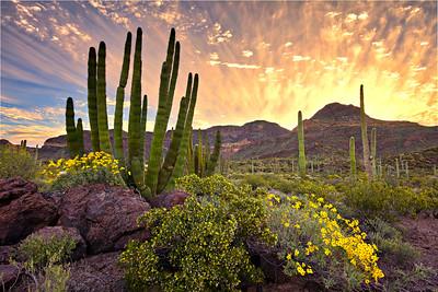 7185 Organ Pipe Cactus