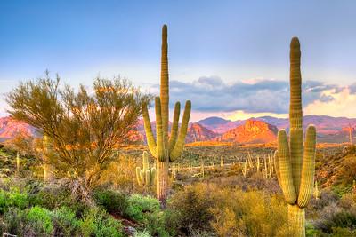 8038 Saguaros