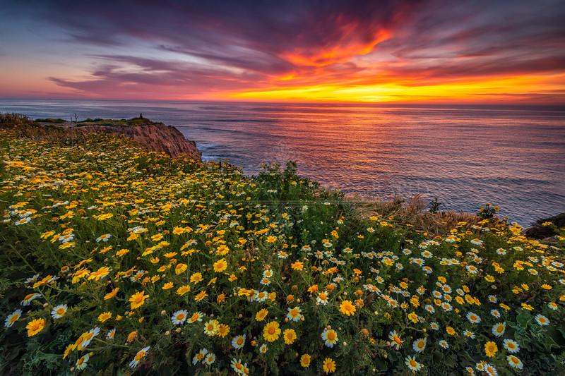 Sunset Cliffs Superbloom