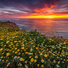 Sunset Cliffs Superbloom