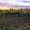 Autumn gravevine sunset 3 signed.jpg