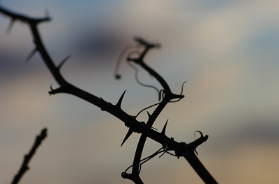 Vine in the Sunset