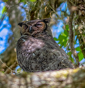 One more check at the Momma Great Horned Owl and her babies