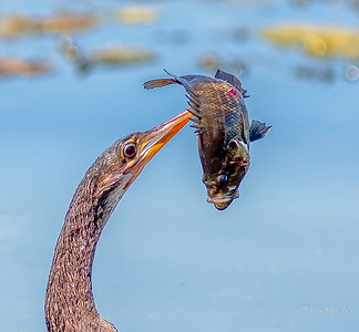 Here he is maneuvering the bass into a head first swallow position