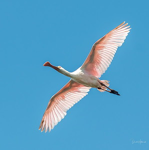 Roseate Spoonbills are beginning to show up
