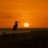 Blue Herron at sunset