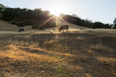 Sunset. Cows. Pleasanton Ridge Regional Park - Sunol, CA, USA