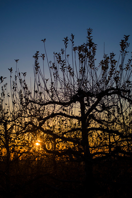 Sunset On Apple Trees