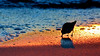 You Wanted a Silhouetted Sanderling in the Sunset?  Shore thing!