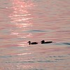 Ducks in the water at sunset hour.  The golden hour swim...