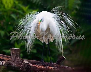 egret pretty-24x30_0988