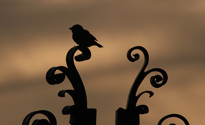 Waikiki  Silhouette of sweet little bird on the gates of the Natatorium at sunset  Waikiki, O'ahu, Hawai'i