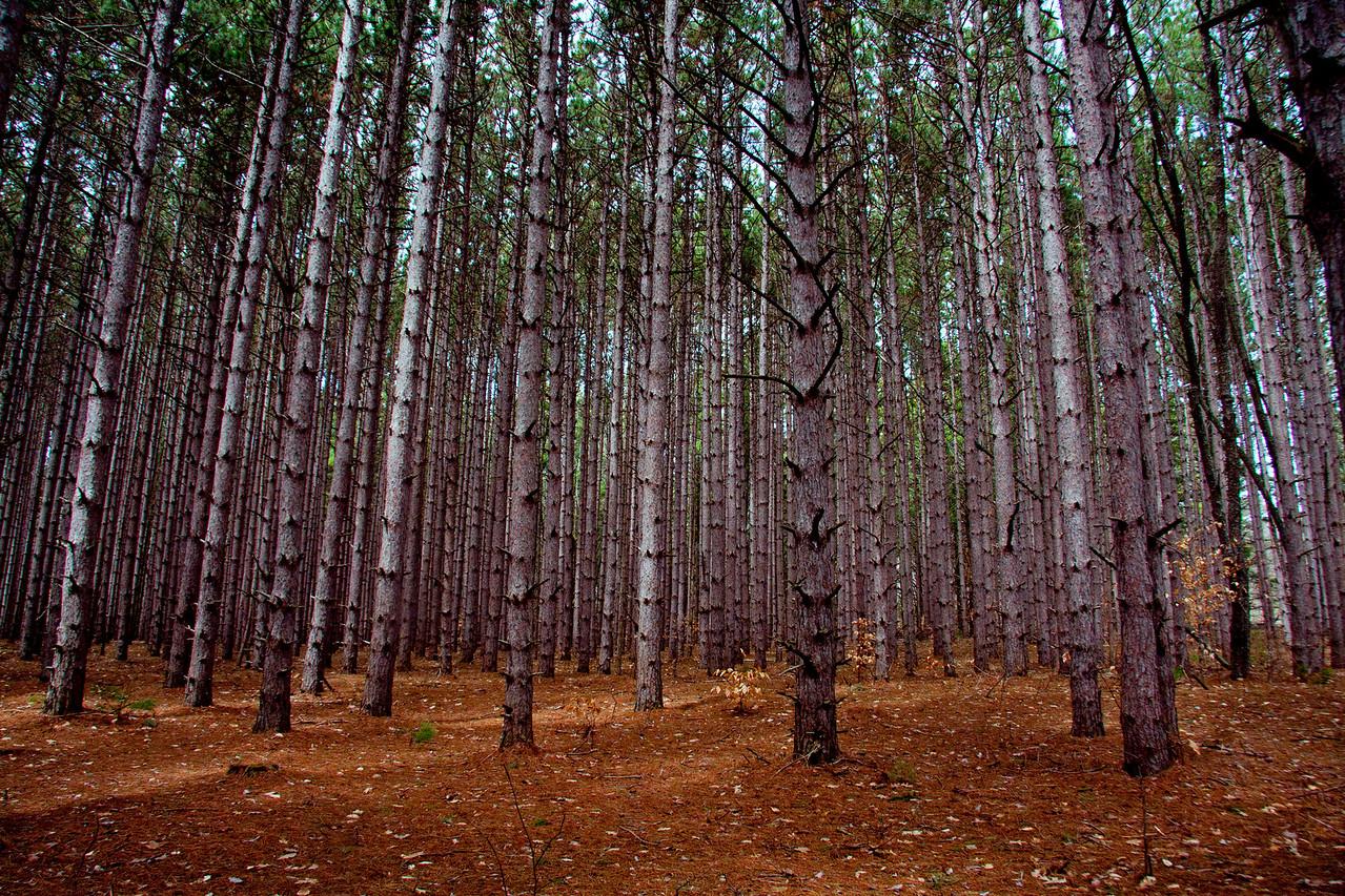Organized Pine Forest