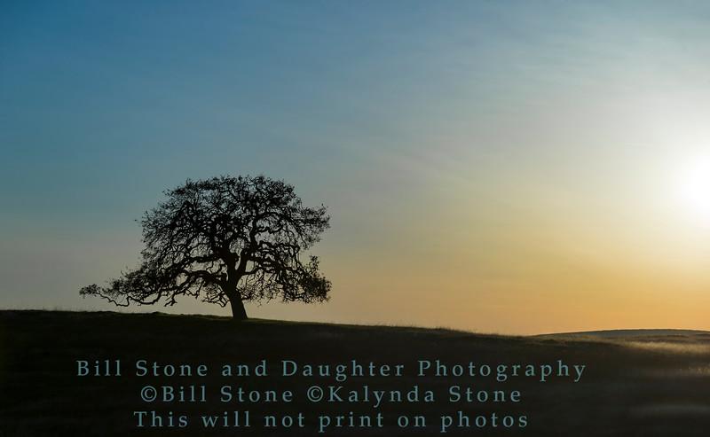 Oak Tree, Hornitos, California