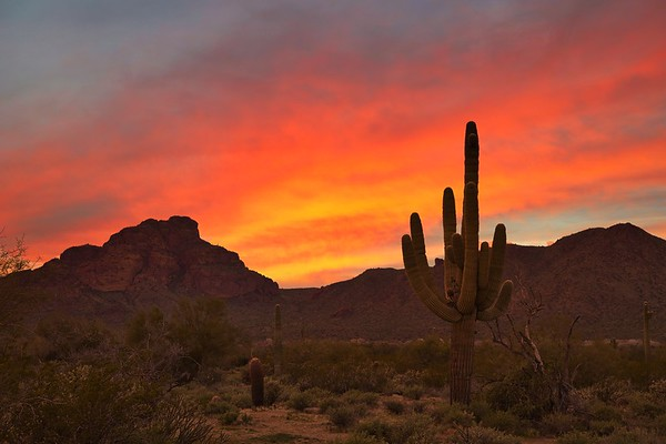 Arizona Saguaro at Sunset