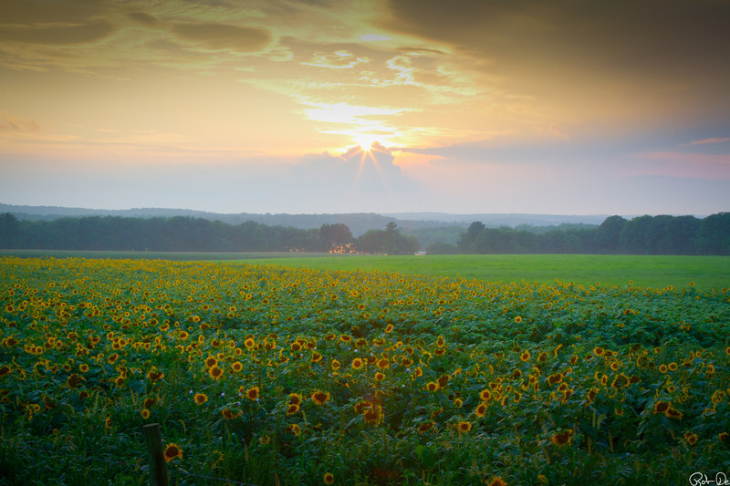 Sunset over sunflowers