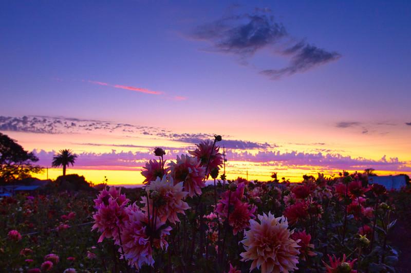 Dahlia Sunset