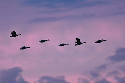 Pink Sunset Geese