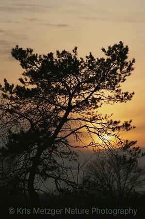 Golden Pine Sunset