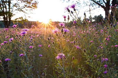 Summer Wildflowers: Suttons Bay, Michigan