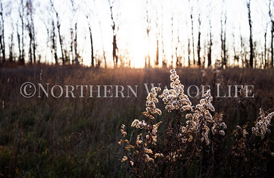 Goldenrod at sunset, Leelanau County, Michigan