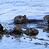0421-9386_Morro Bay otters.JPG