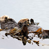 9774C_Morro Bay sleeping otters.JPG