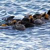 2015-12-23_8229-0668_Morro Bay_Sea Otters.JPG