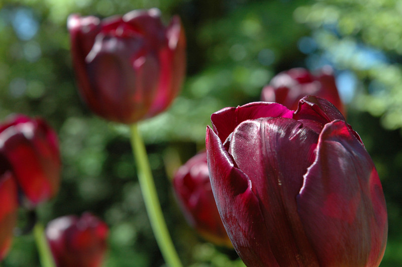 an orchestra of tulips
