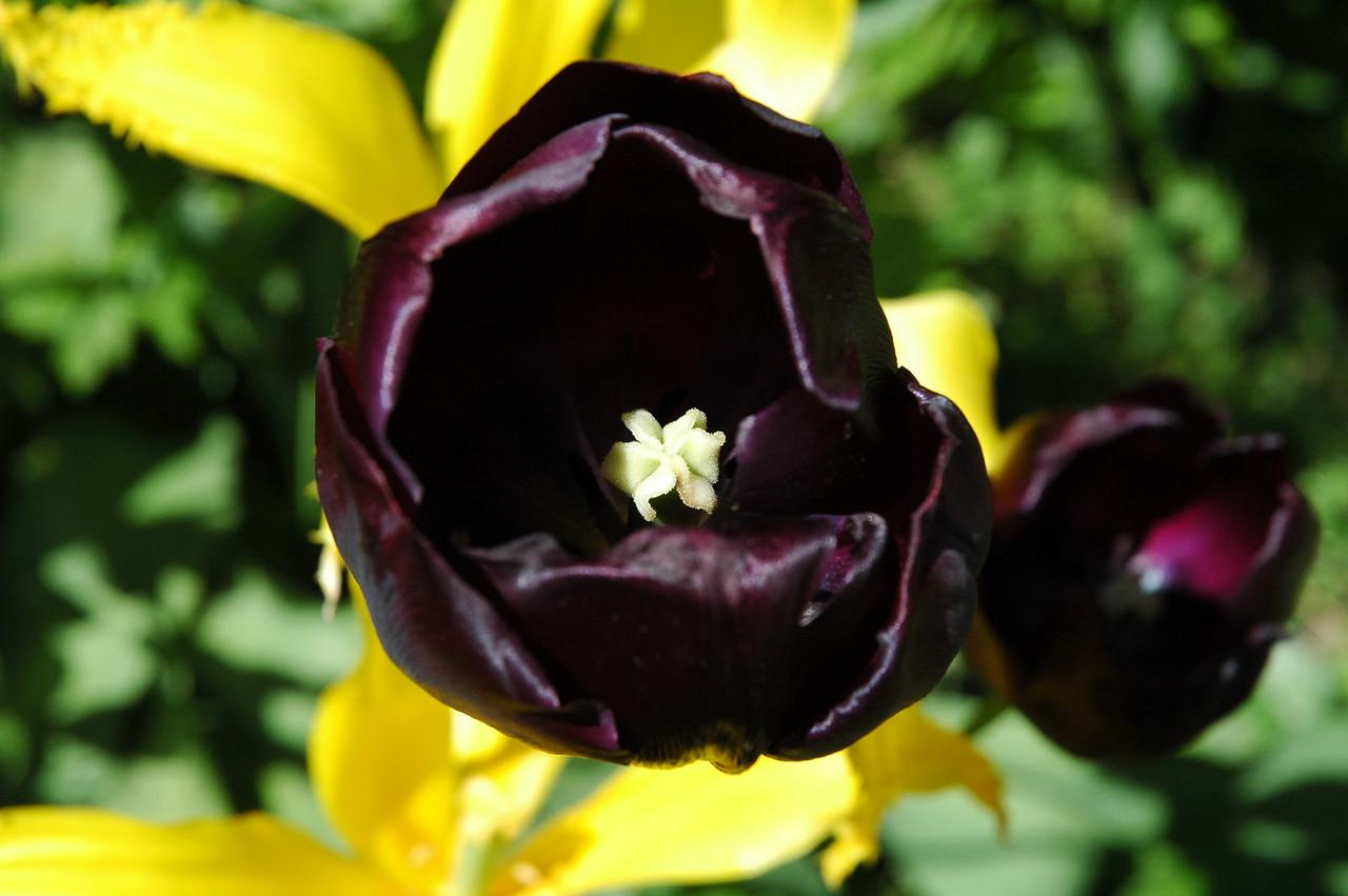 beautiful deep purple tulips at the Art Barn
