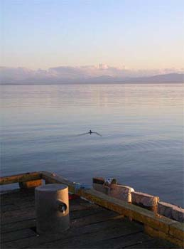 Loon, last light, heading to Vancouver Island