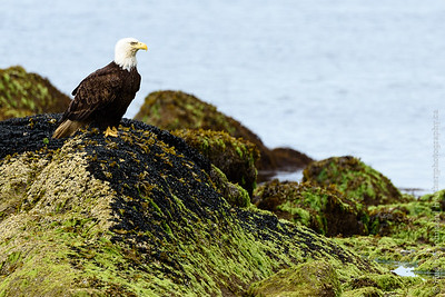 Intertidal Eagle