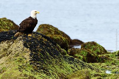 Intertidal Eagle