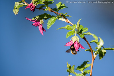 Bee on Salmonberry