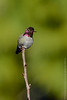 Male Annas Hummingbird