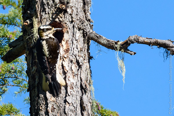 Female Hairy  Woodpecker at nest hole