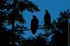 Eagle Lullabies