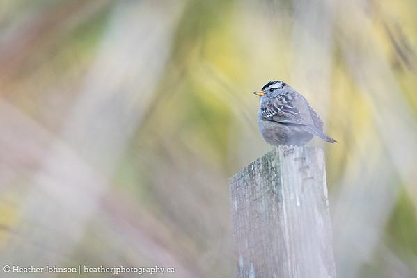 Impressionistic Sparrow