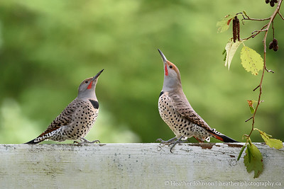 Duelling Northern Flickers