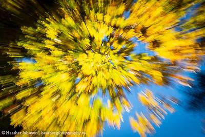 Maple Burst