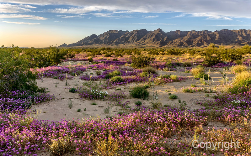 Desert Lilies in Joshua Tree
