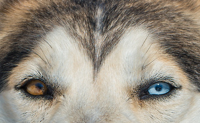 Turbo's eyes--Leader of the sled dog pack.