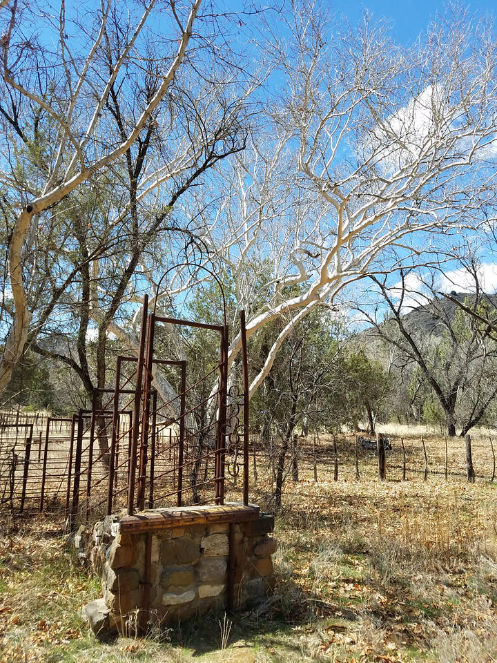 The white bark on these Arizona sycamores (Platanus wrightii) was like nothing I'd seen before. Perhaps the white bark helps protect from the desert heat and sun?