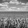 Wisconsin Corn
