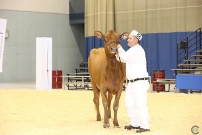 Supreme Ayrshire Cows 2016