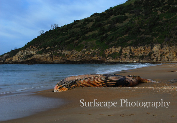Stitched Panorama Dead Whale at Rsls, Tasmania