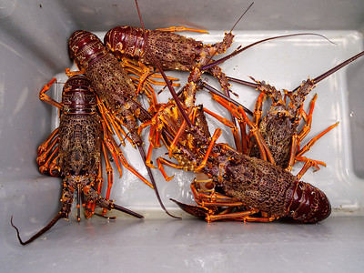 New Zealand Crayfish