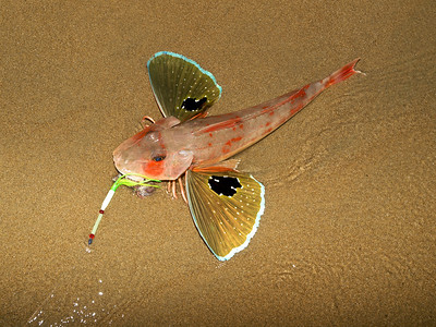 New Zealand Red Gurnard