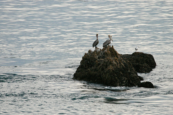 Pelicans at Rockpile